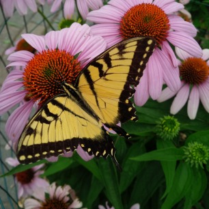butterfly and cone flower 3